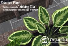 [ Organica ] Calathea Plant (Shining Star)