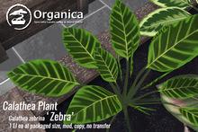 [ Organica ] Calathea Plant (Zebra)