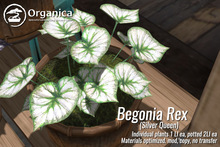 [ Organica ] Begonia Rex - Silver Queen