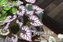 [ Organica ] Begonia Rex - Fireworks