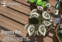 [ Organica ] Begonia Rex - Escargot