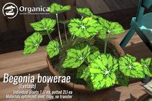 [ Organica ] Begonia Bowerae - Eyelash