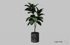 VARONIS - 9 O'Clock / Rubber fig plant