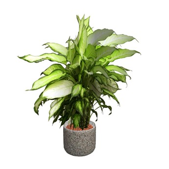 Dieffenbachia 2 Potted Plant