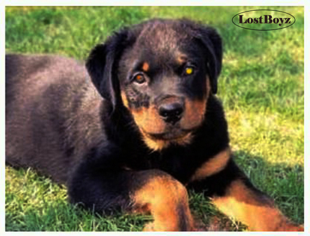 BB BioBreeds Sterling Rottweiler unbirthed Ready for your Home or Ranch