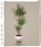 dust bunny . potted dragon tree