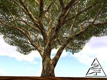 Monkeypod Tree 12LI M/T