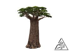 Baobab Tree 6LI C/M