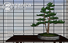 [ Organica ] Hinoki Cypress Bonsai 1 (MC)