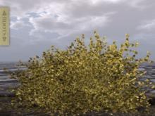 l ROOTS l Ginkgo Shrub [Autumn]