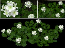 Geranium Bush White - Flat Back