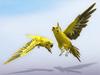 Parakeet (budgie) scripted yellow (random flight)