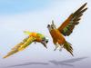 Parakeet (budgie) scripted orange (random flight)