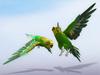 Parakeet (budgie) scripted green (random flight)