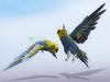 Parakeet (budgie) scripted blue (random flight)