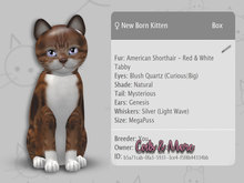 KittyCatS Box - MEGAPUSS - ♀ American Shorthair - Red & White Tabby