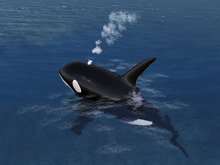 Baby Offsim Orca!  New!