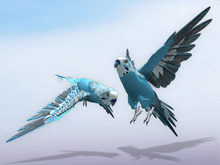 Following parakeet (budgie) cyan