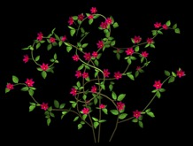 Clematis Vine Red Pack