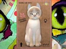 ♀ MEGAPUSS!! Abyssinian - Lilac - QQUT - KittyCats!! New Born Kitten
