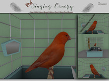 Red Singing Canary (Carrier)