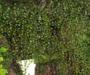 Haning vines pic4