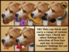 Vkc american staffordshire terrier fawn marketplace advert 07