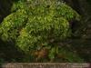Whorled yellowwood 2