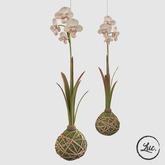 (Luc.) Kokedama Plant, Hanging Orchid