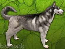 BioBreeds (BB) Dog FEMALE HUSKY Silver Coat (Boxed)