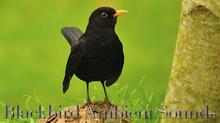 Blackbird Ambient Sounds