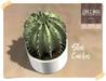 Star cactus chez moi