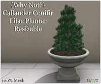 {Why Not?} Callander Conifer Lilac Planter-Boxed