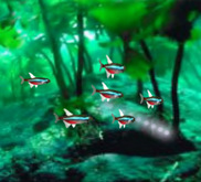 Neon Tetra School <[[[><  swimming & animated <[[[><   <[[[><   <[[[><    <[[[><