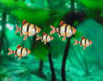 Tiger Barb School <[[[><  swimming & animated <[[[><   <[[[><   <[[[><    <[[[><