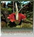 Mesh Tropical Amorphophallus titanum by Felix 1 Li copy-mody