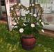 CJ Lena Bucket Planter white Roses