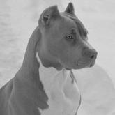 BB Pitbull Box - Female - Slate - Lily