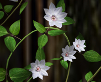 Clematis Vines White Pack
