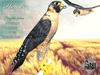 Peregrine,falcon