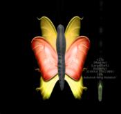 {Papillon} Ma/Lar/Dar/Hu/Butterfly/AutumnA Cocoon