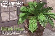 [ Organica ] Ostrich Ferns