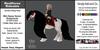 *E* RealHorse Rideable Mini Gypsy Vanner Rosamund [Add & Click]