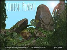 Cheese Plants - BIG Tropical Foliage