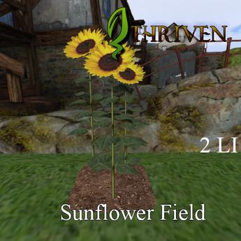 TRP Farm Sunflower Field