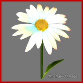 Daisy {Papillon} Gl/Med/Pal/Dai/+ Plant
