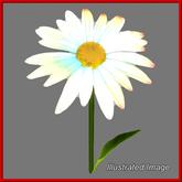 Daisy {Papillon} Ex/Sma/Nor/Dai/+ Plant