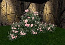 rose bush pink 3 old huge
