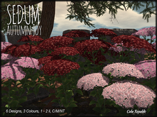 Sedum 'Autumn Joy' big beautiful flowers