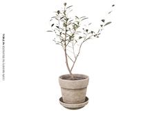 Nutmeg. Warm Corner Potted Plant
